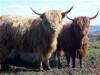 Highland Cattle on Mull