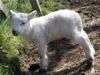 Lambing season on Mull