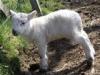 Lambing season on Mull
