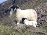 Sheep on Mull